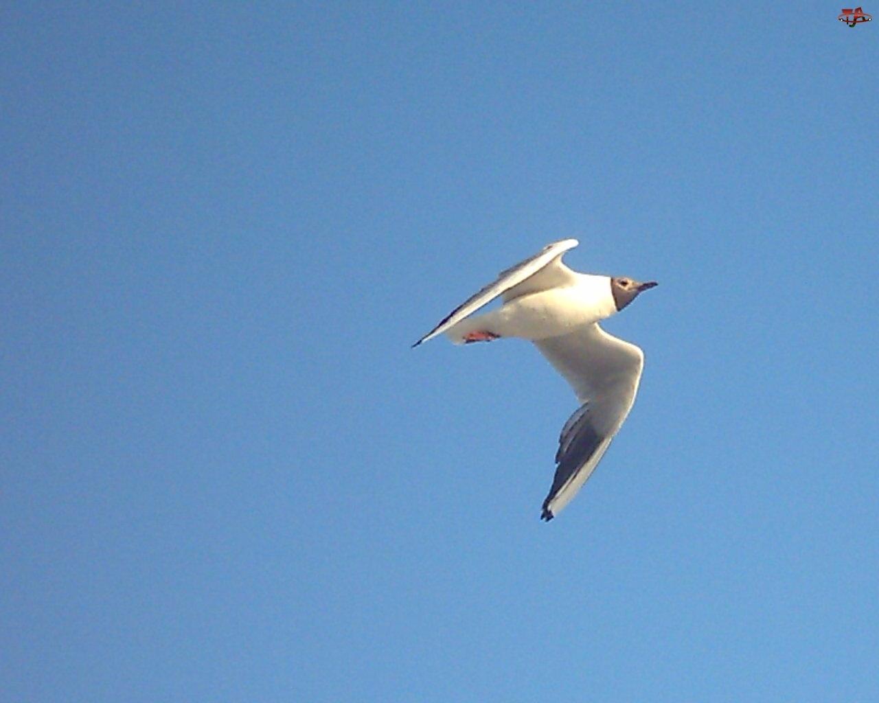 Mewa w tle niebieskiego nieba nad Morzem Bałtyckim