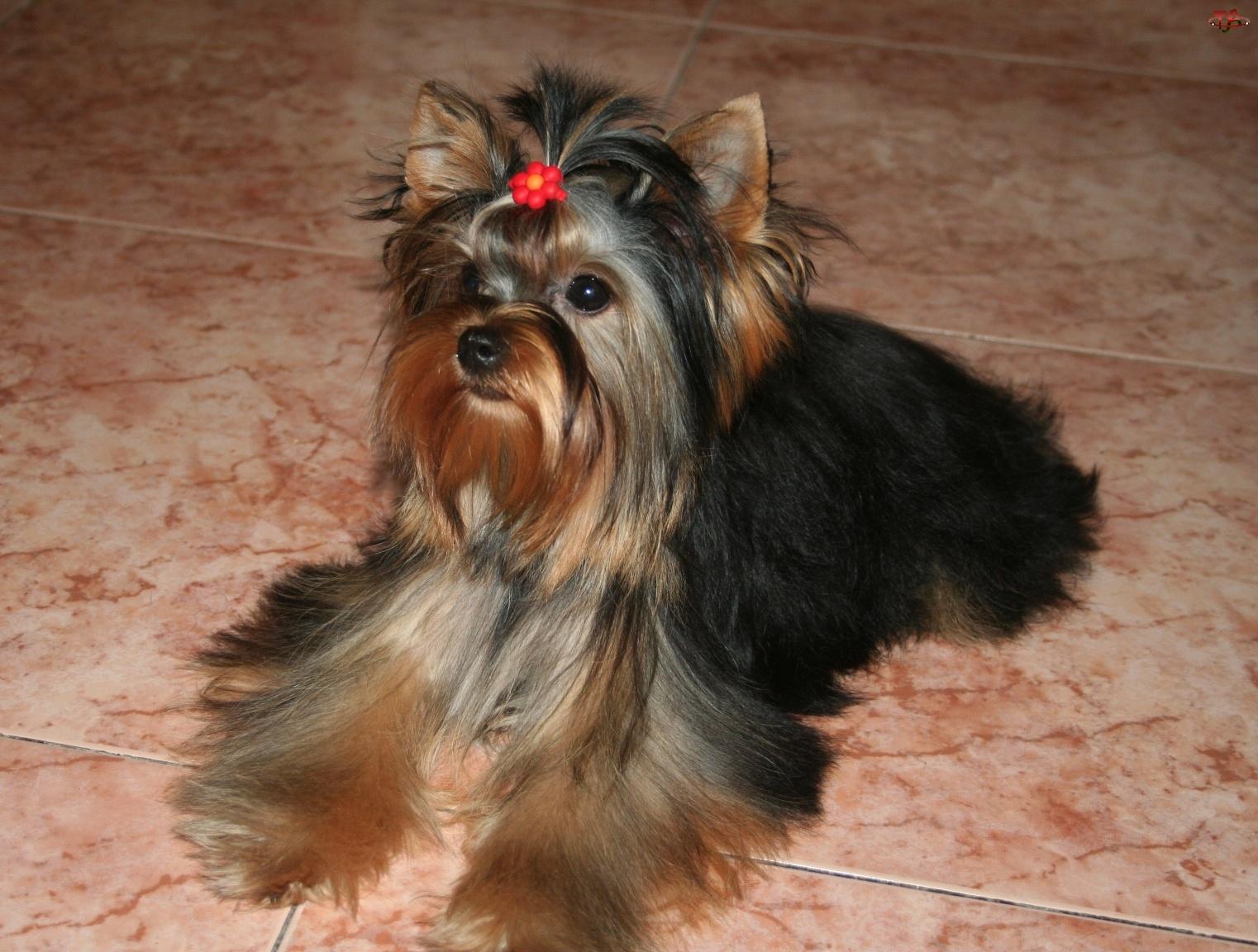 spinka, słodki, Yorkshire Terrier