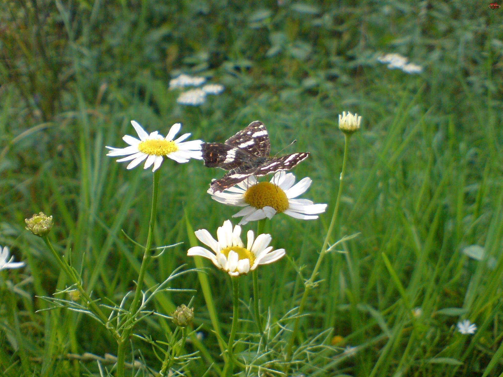 Rumianek pospolity, Motyl, Łąka