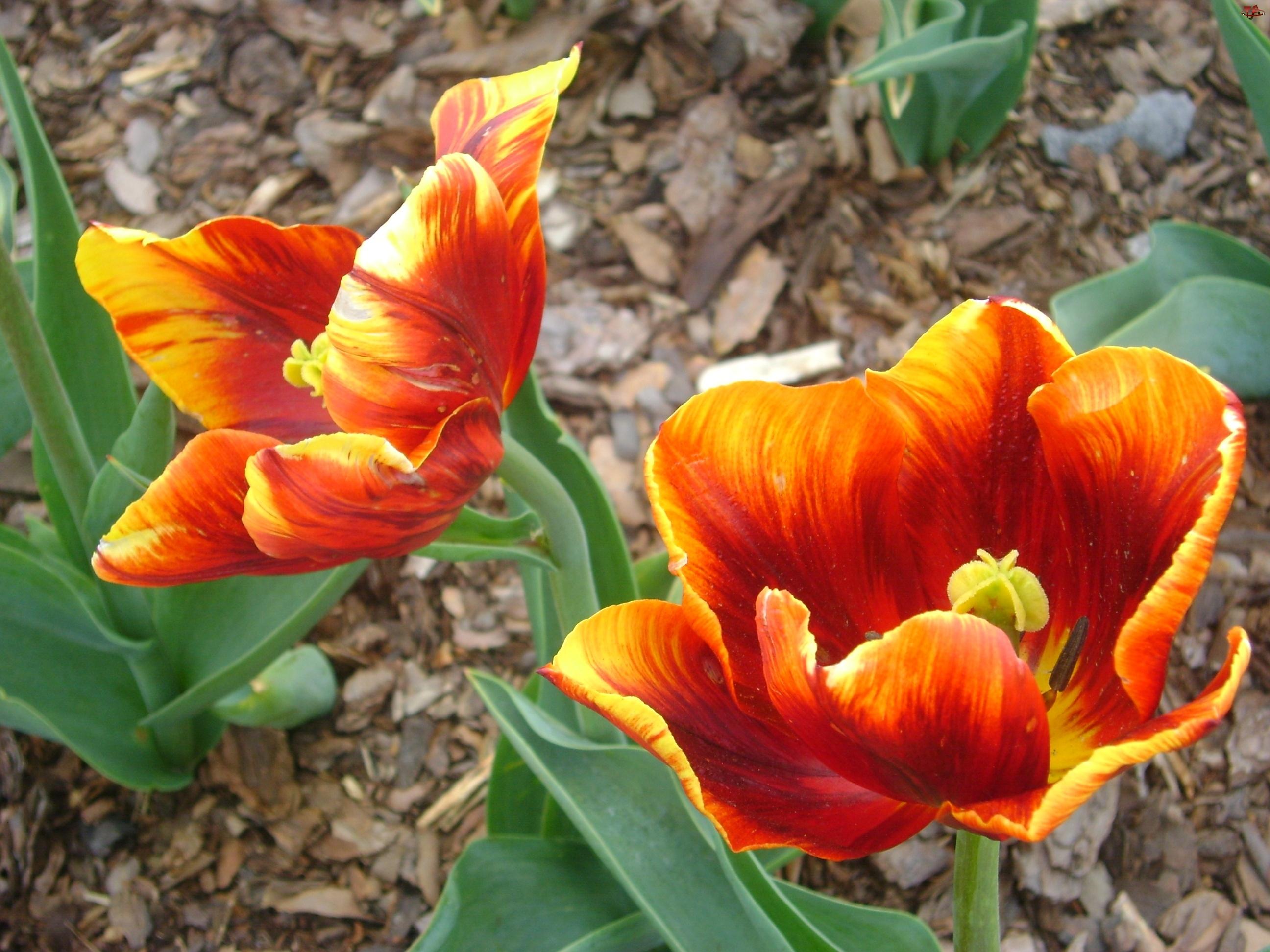 Pomarańczowy, Tulipan