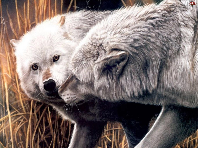 Para, Wilków