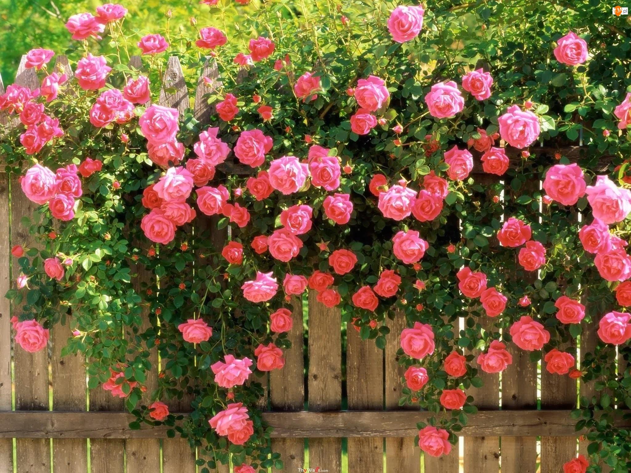 Płot, Róże, Pnące