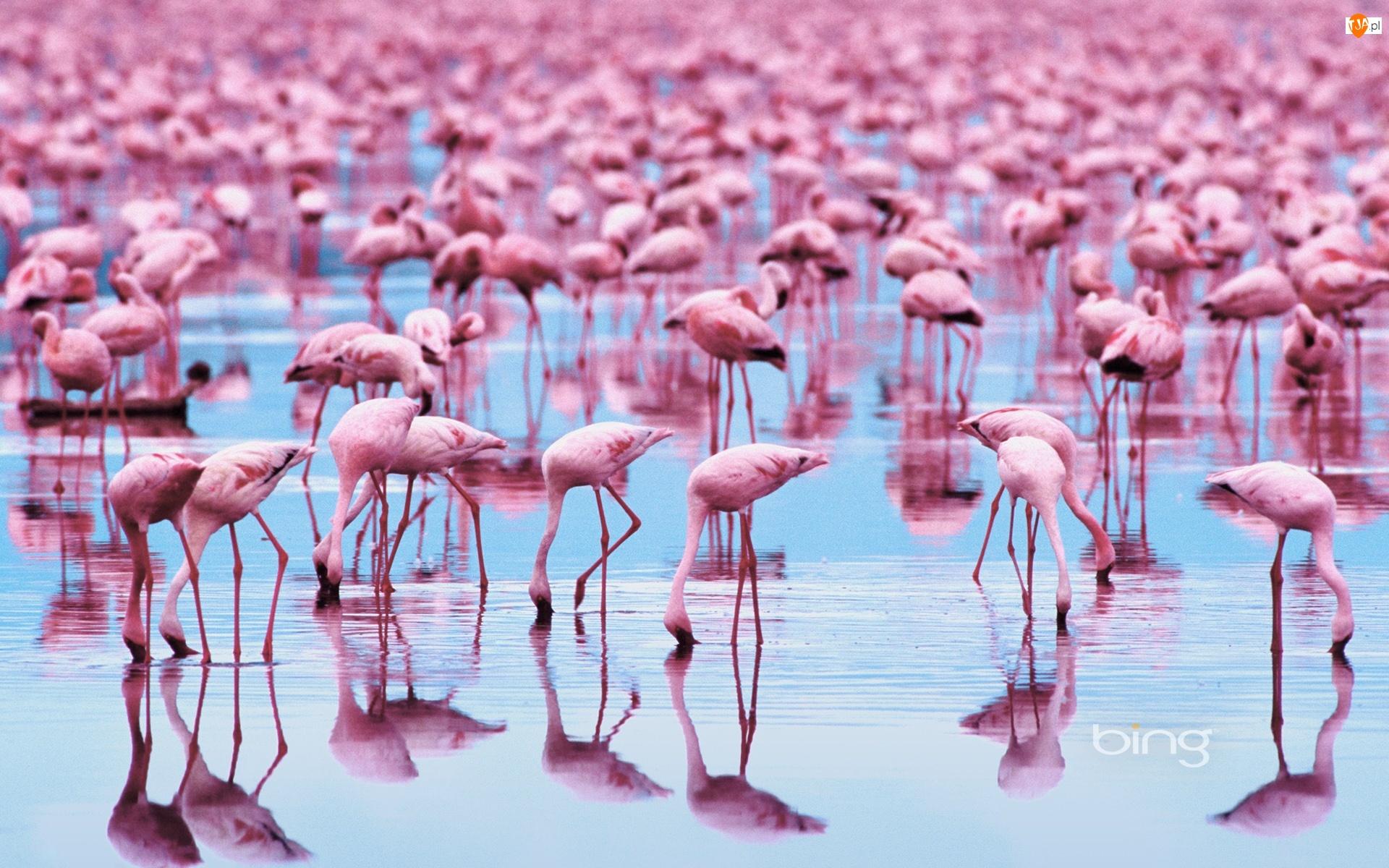 Flamingi, Stado