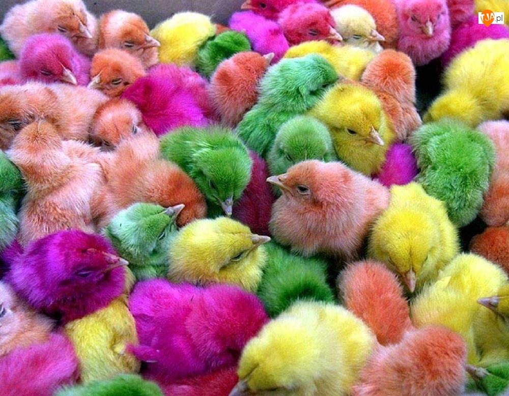 Kurczaczki, Kolorowe