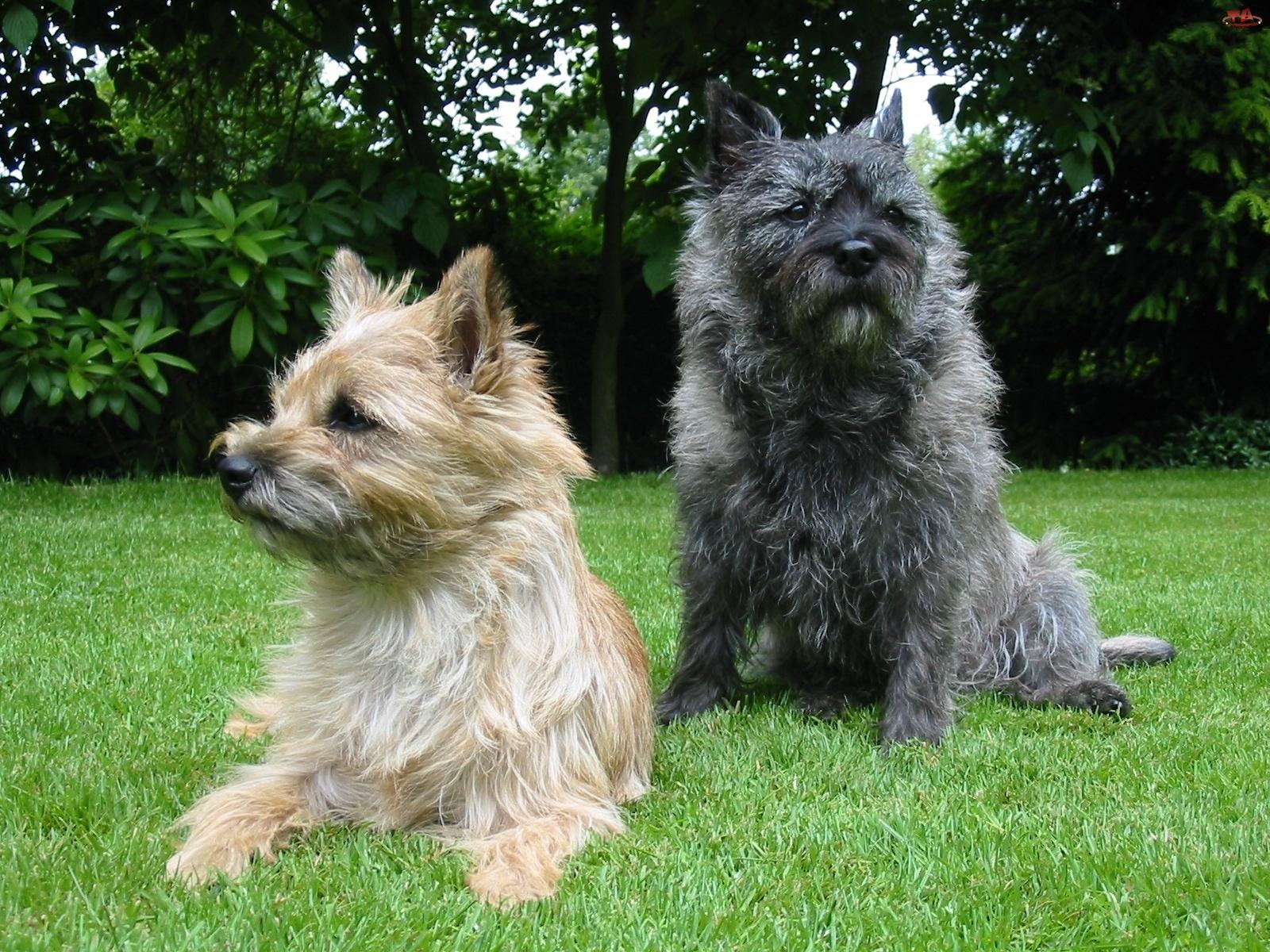 trawa, Cairn Terrier, zielona
