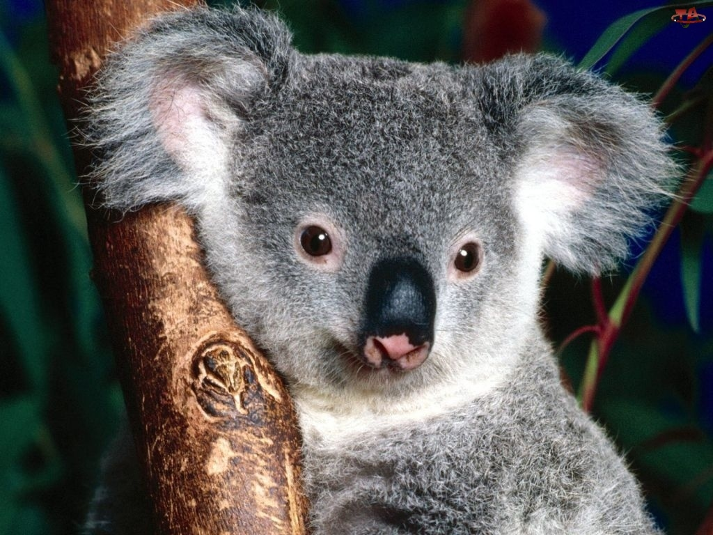 Drzewo, Koala, Nos