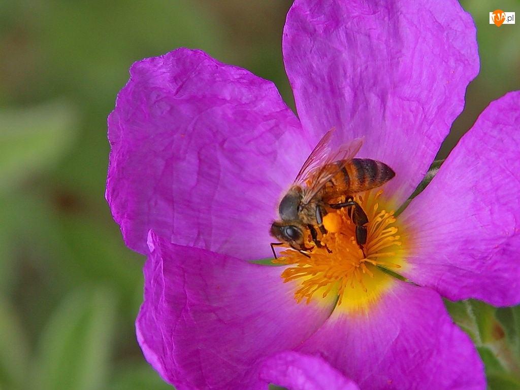 Kwiat, Pszczoła, Fioletowy