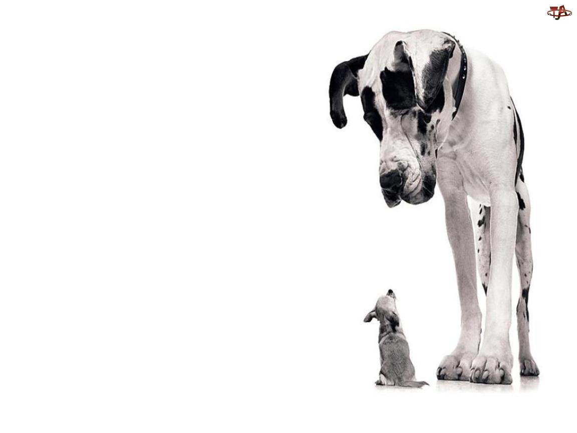Dog niemiecki, Mały, Pies, Duży, Chihuahua