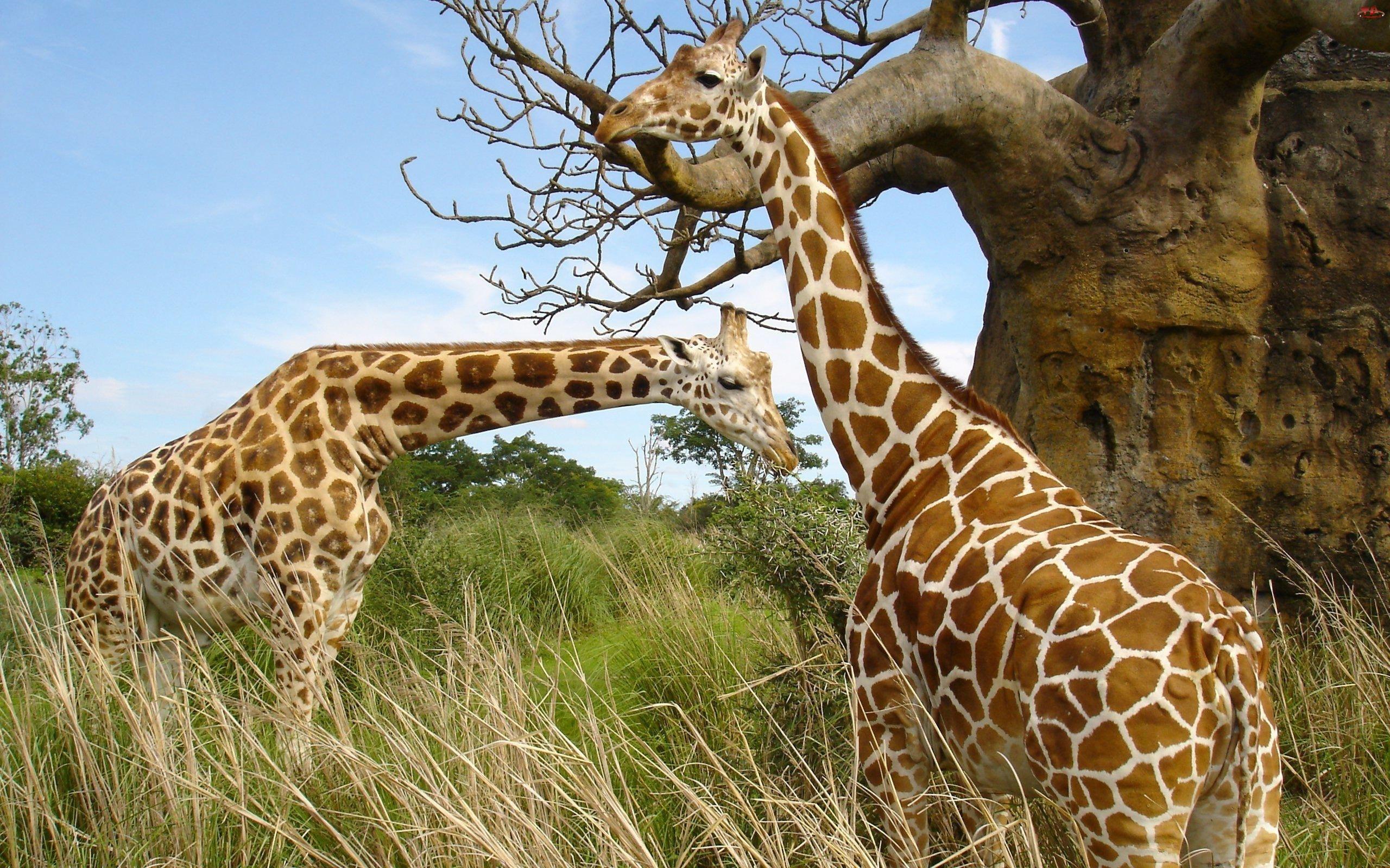 Dwie, Żyrafy
