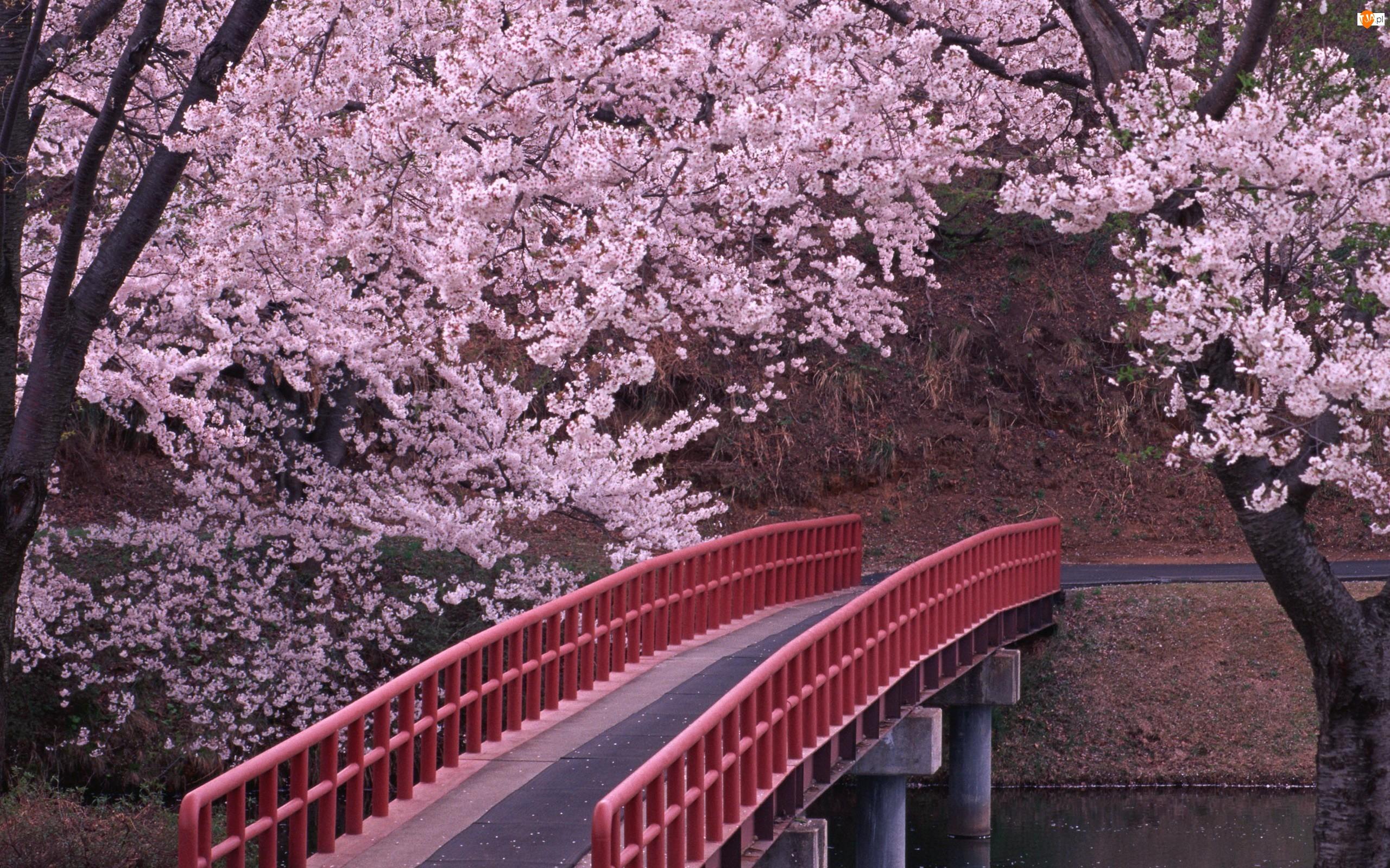 Wiśnia, Czerwony, Drzewa, Most, Kwitnąca