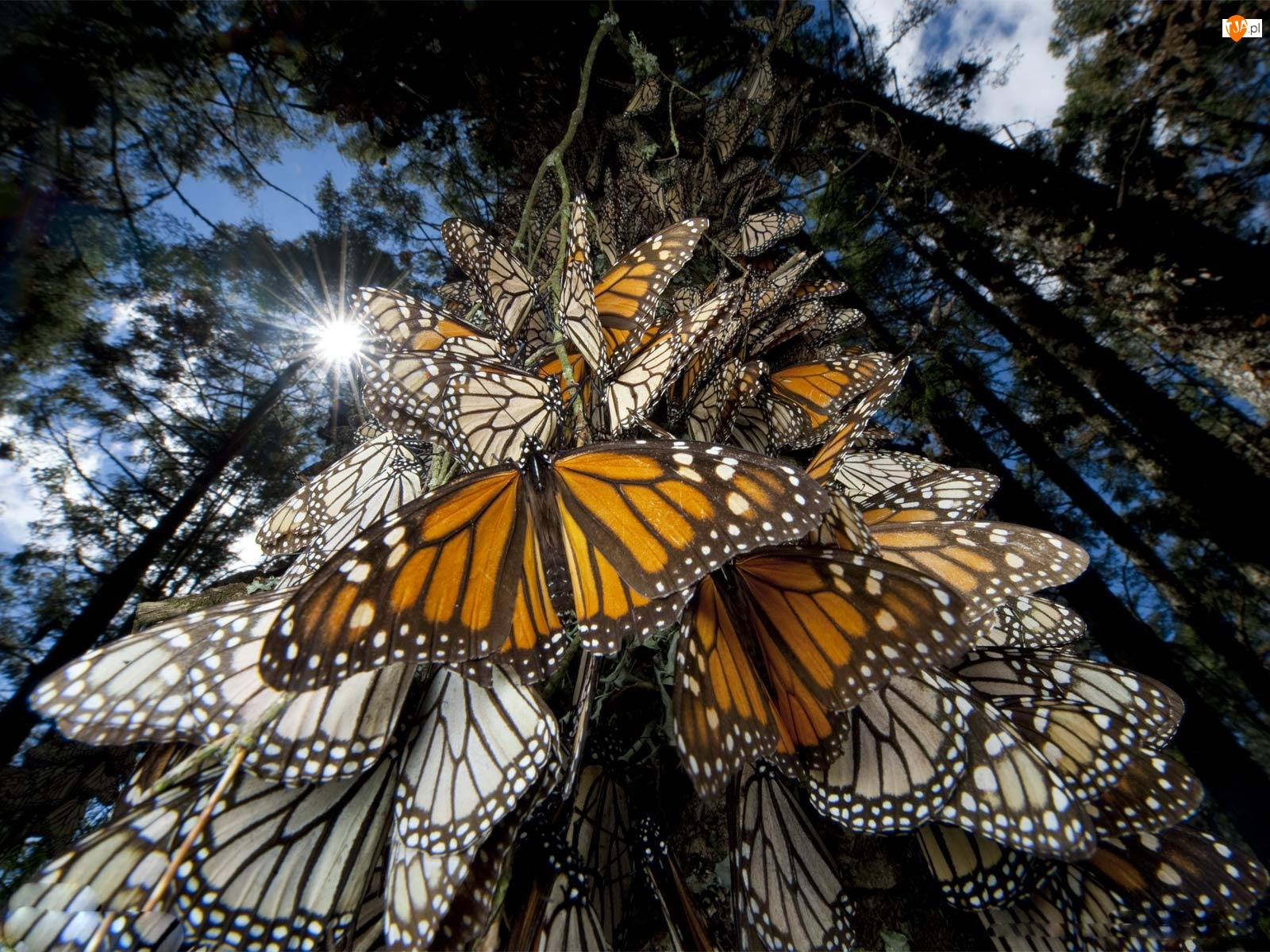 Motyle, Drzewo