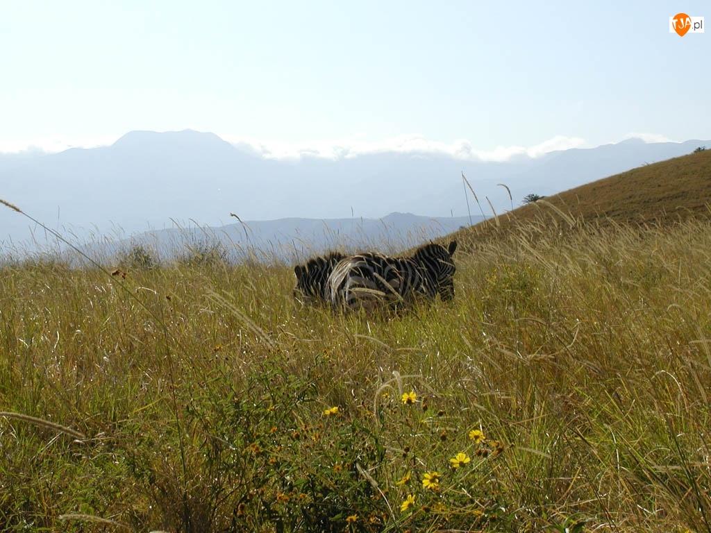 góry, Zebra, trawy