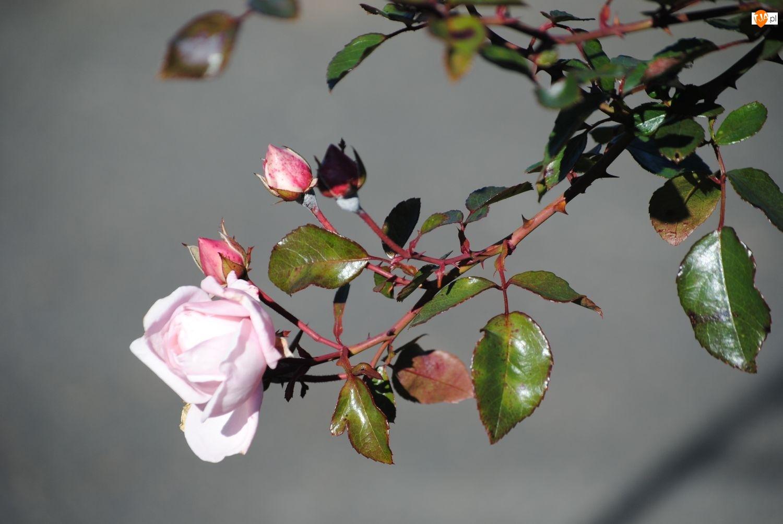 Róży, Jesienny, Kwiat