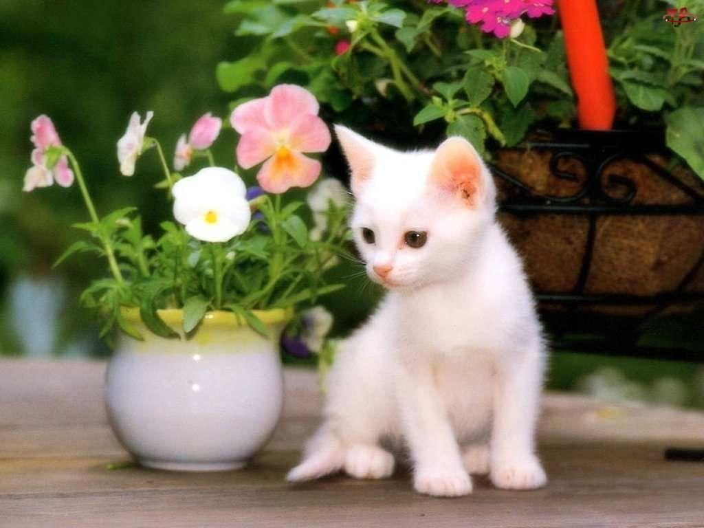 Bratki, Biały, Kotek, Mały, Doniczka