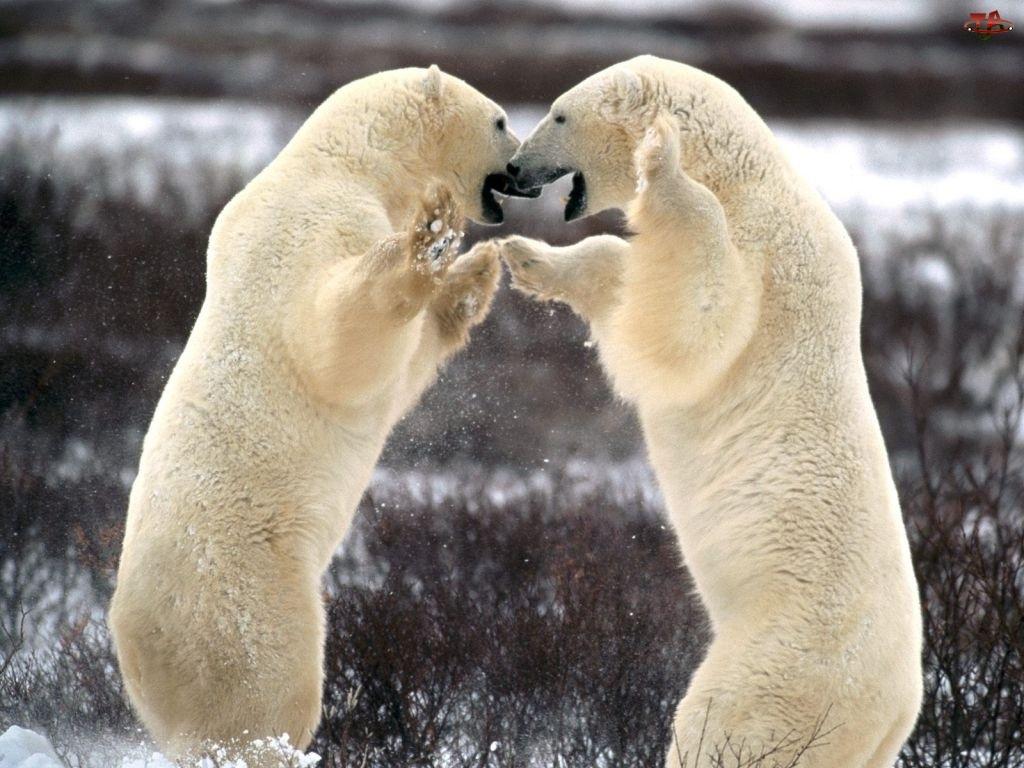 Walczące Niedźwiedzie
