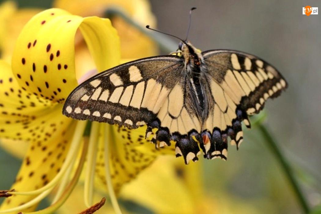 Lilia tygrysia, Motyl, Paź królowej