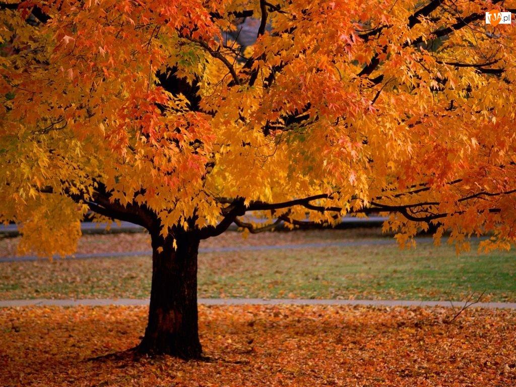 żółte Liście, Jesień, Drzewo