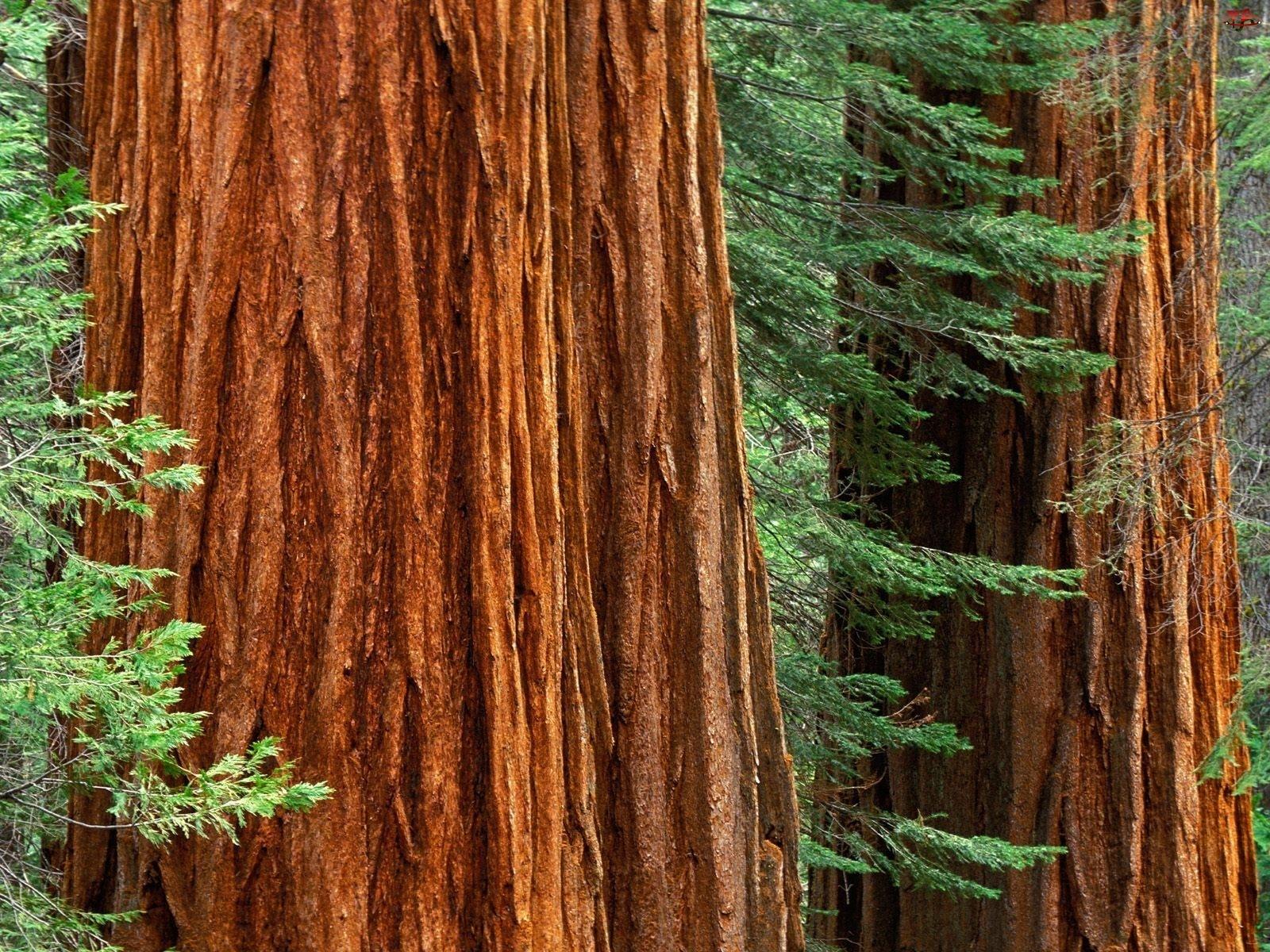 Dwa, Drzewa, Grube, Pnie
