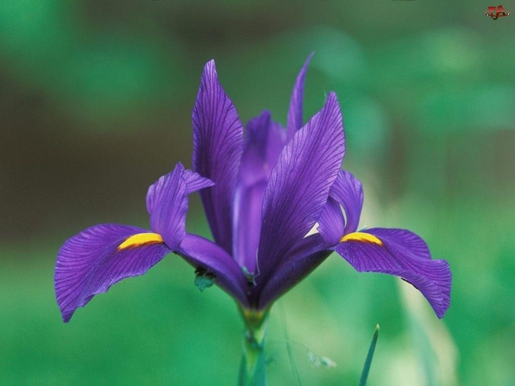 Kwiat, Irys, Fioletowy, Kwitnący