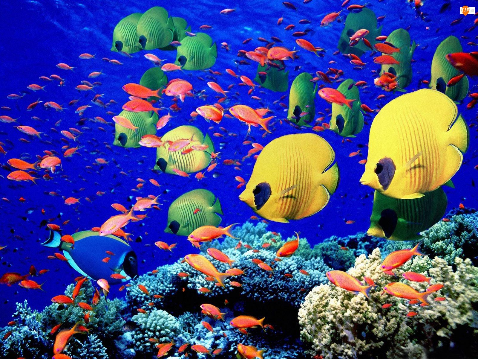 Rafa, Rybki, Ocean, Kolorowe