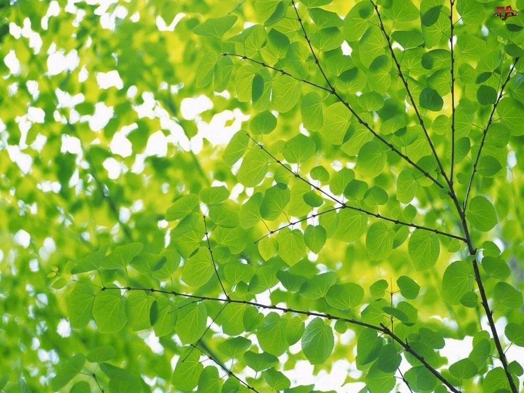 Drzewo, Zielone, Liście