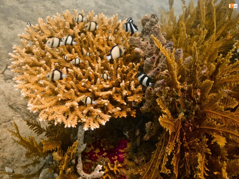 Ryby, Ocean, Koralowiec