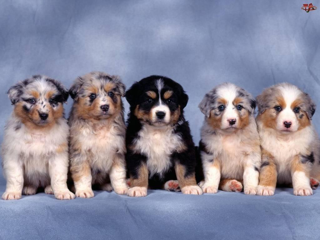 Szczeniaki, Australijskie psy pasterskie, Berneński Pies Pasterski, Cztery