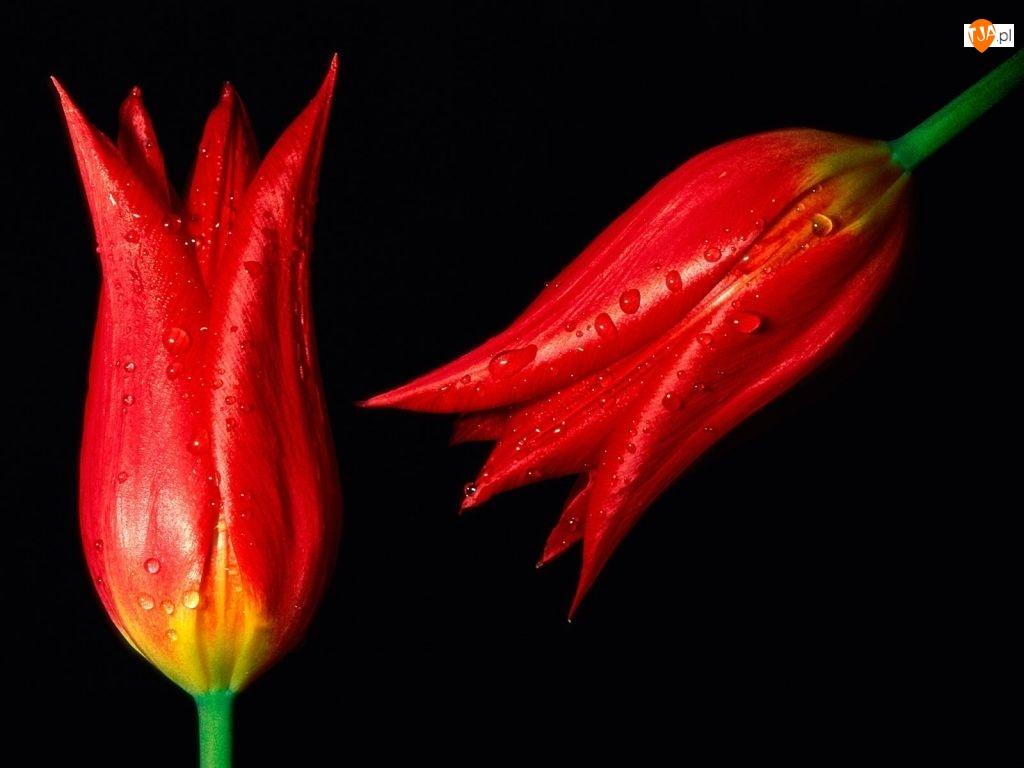 Czerwone, Wody, Tulipany, Krople
