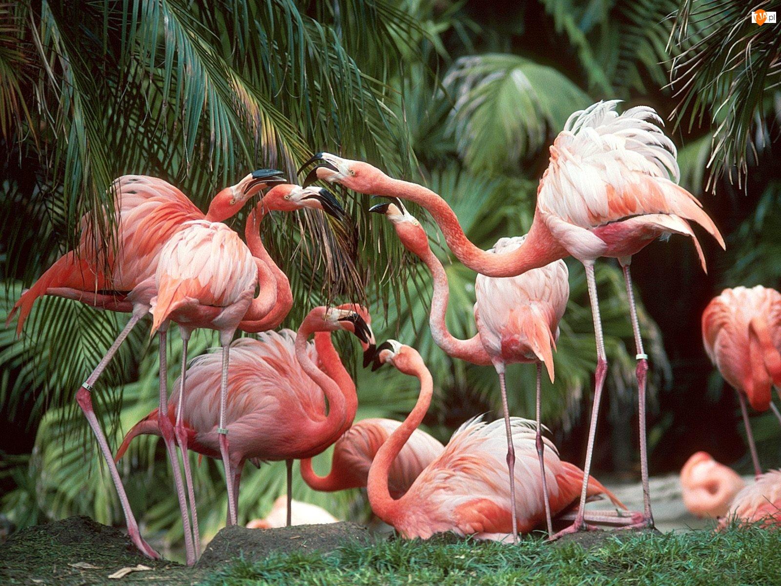 Flamingi, palmy