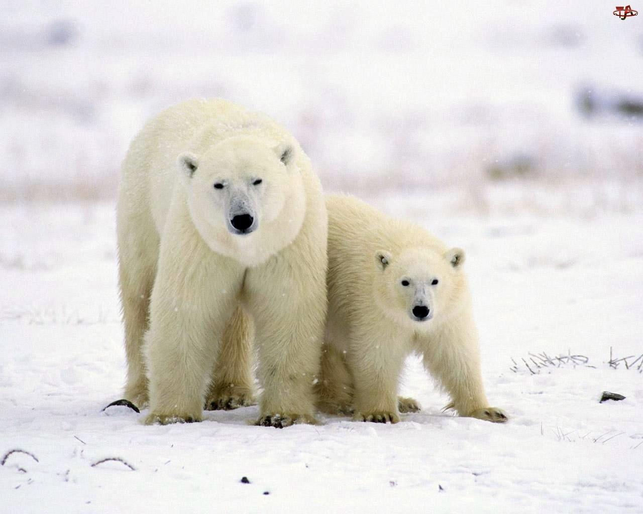 Niedźwiedzie, Młode, Polarne, Mama