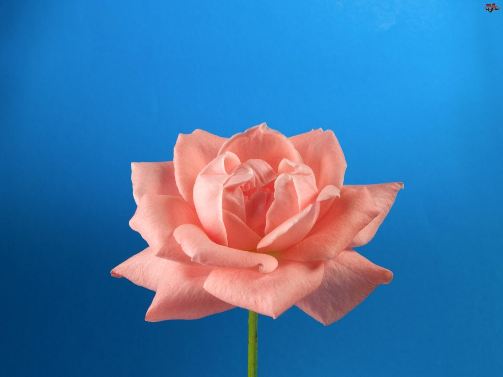 Róża, Różowa, Rozkwitnięta