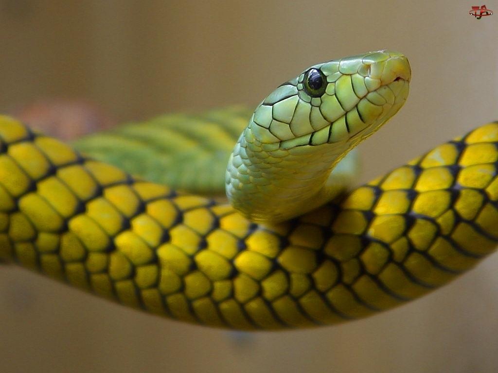 Wąż, Żółty