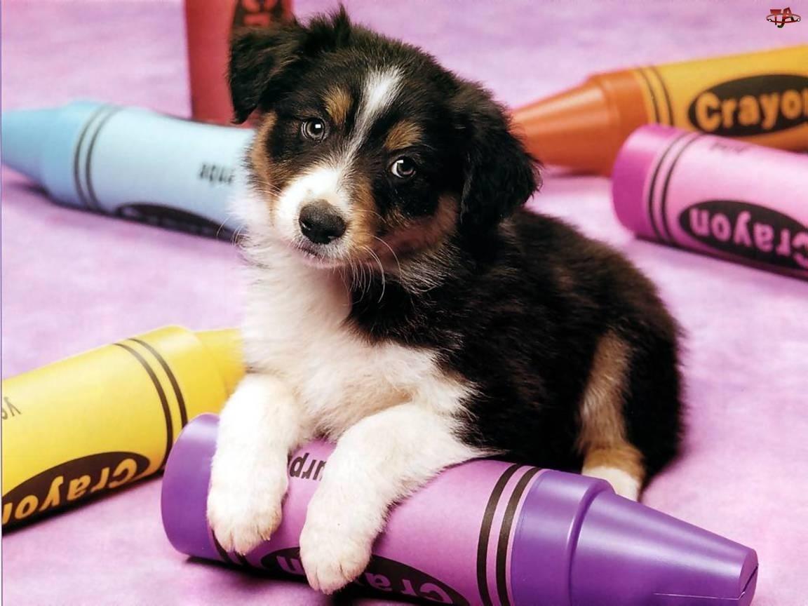 Pies, Border Collie, Kolorowe, Kredki