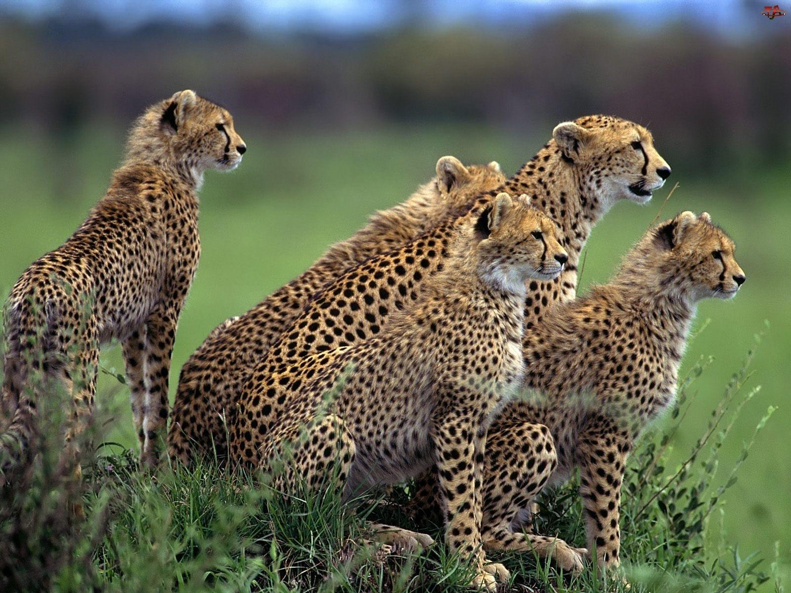 Pięć, Gepardów