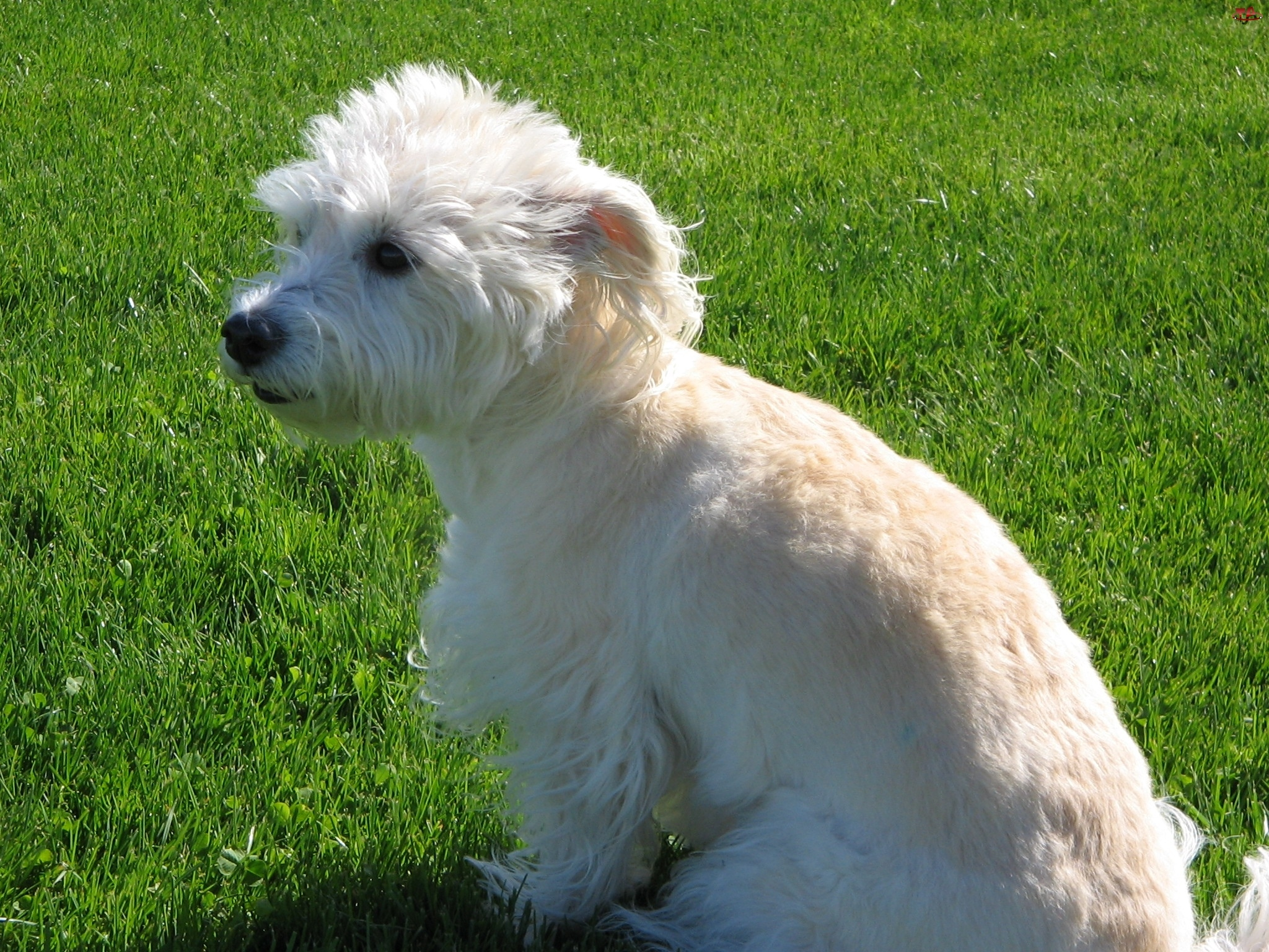 trawa, Dandie Dinmont Terrier, soczysta