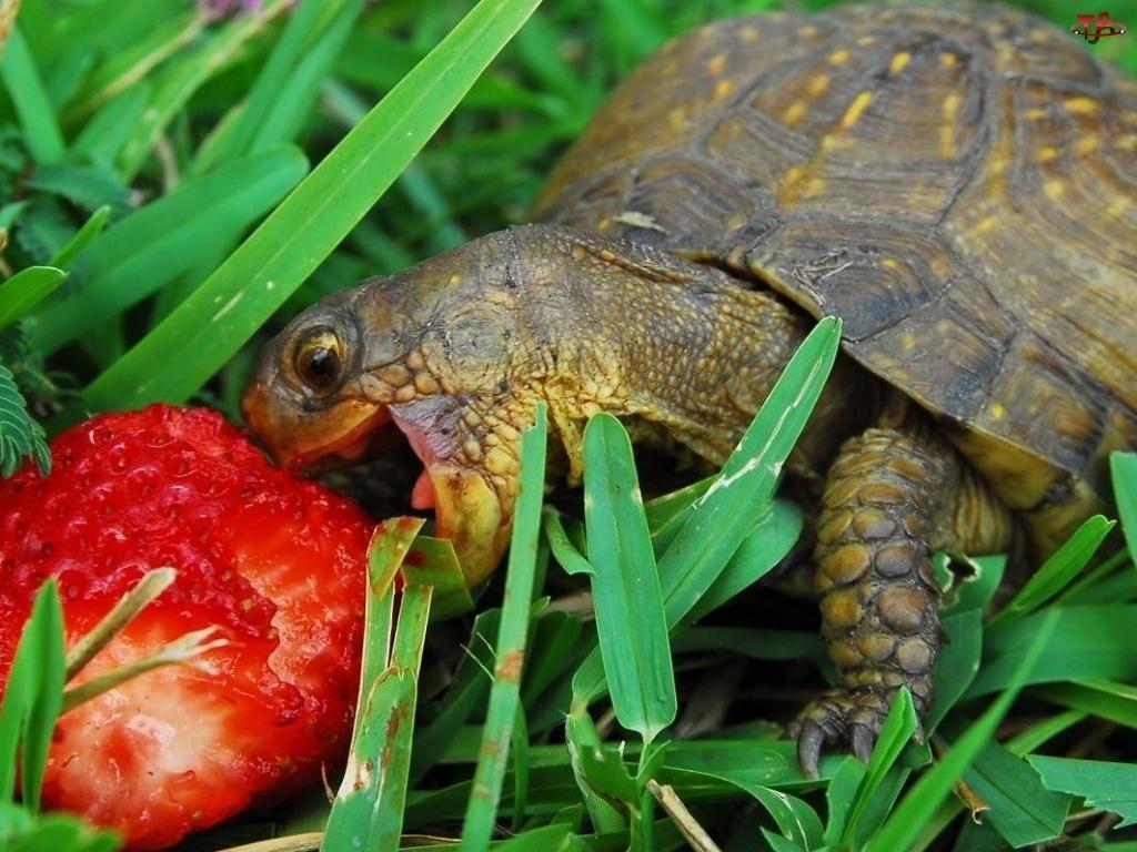 Żółw, Truskawka
