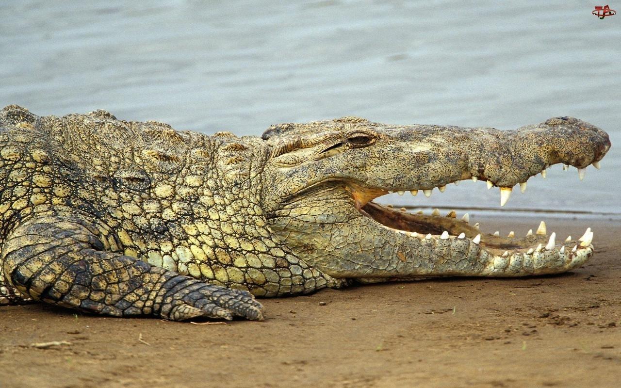 Zęby, Krokodyl, Ostre