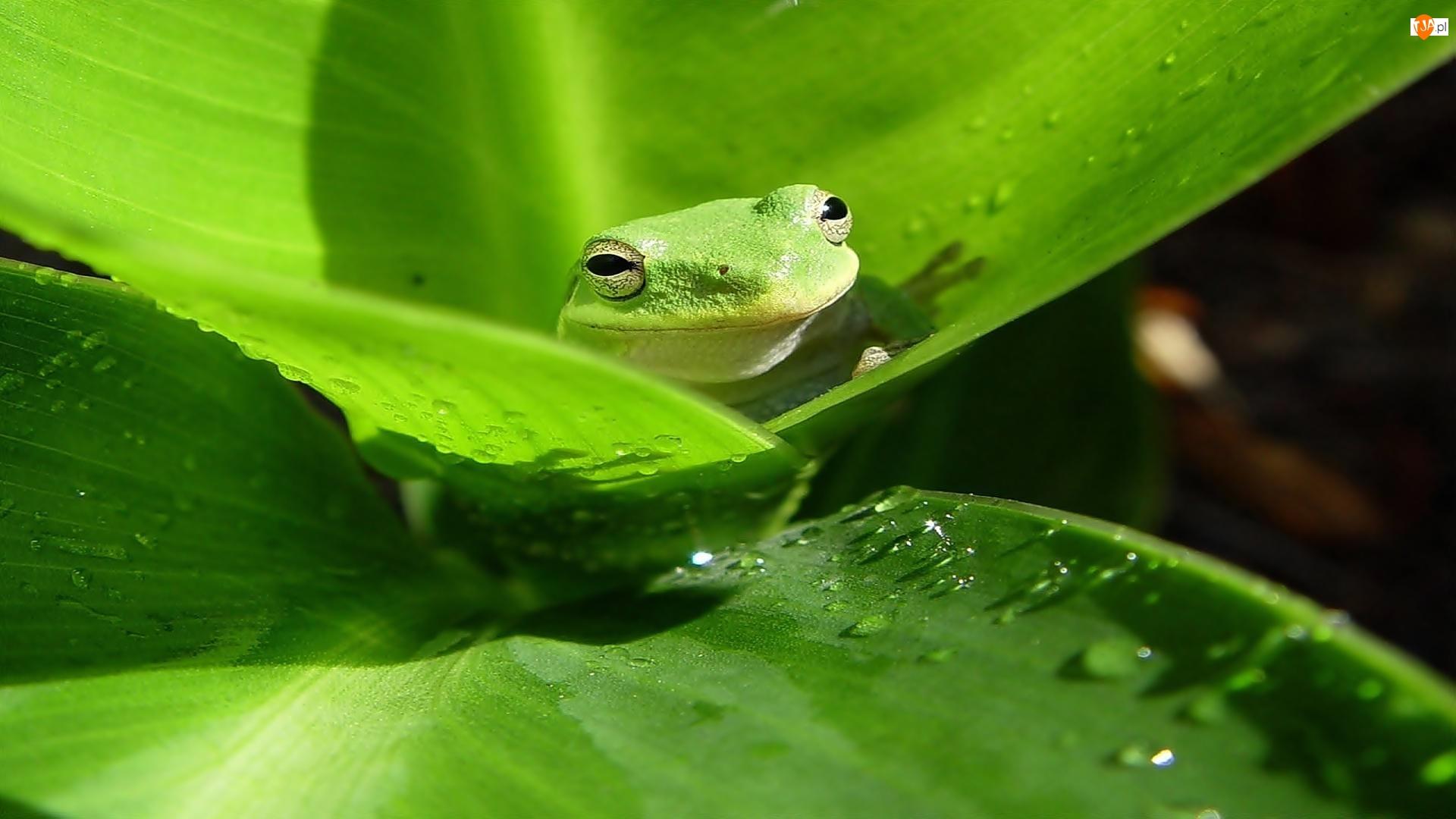 Rzekotka, Zielona, Żaba