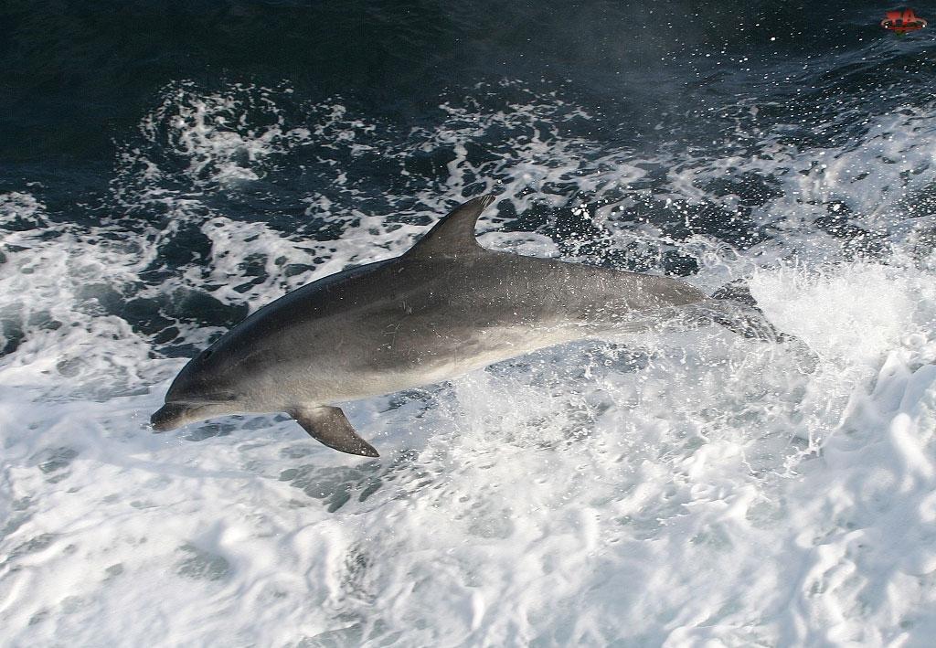 Piana, Delfin, Morze