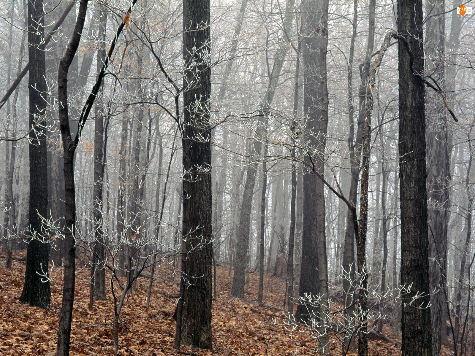 Las, Drzewa, Szron