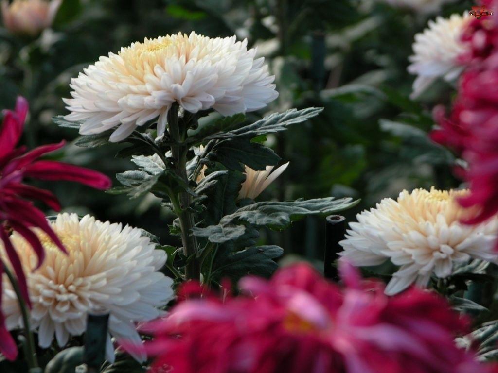 Astry, Białe, Różowe