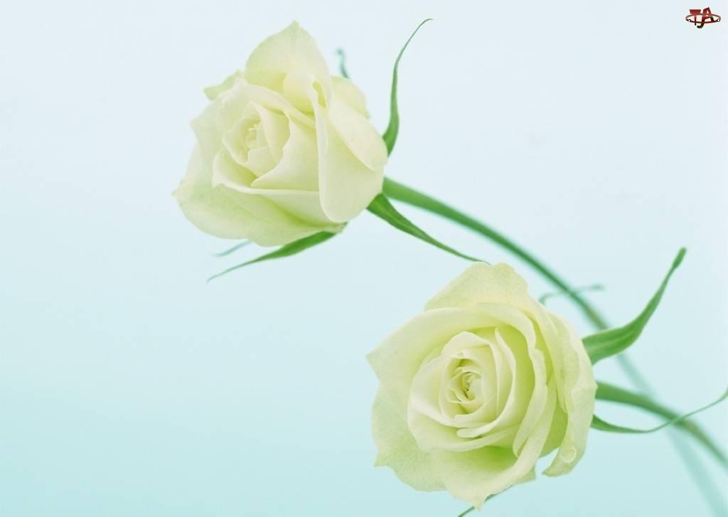 Róże, Dwie, Białe