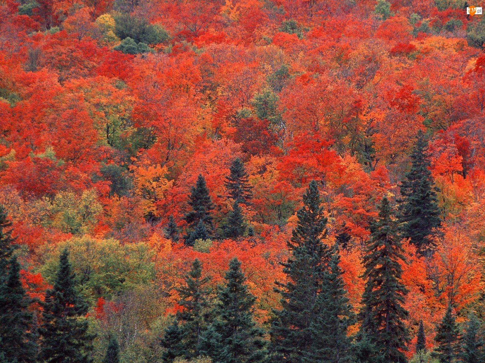 Drzewa, Las, Czerwone