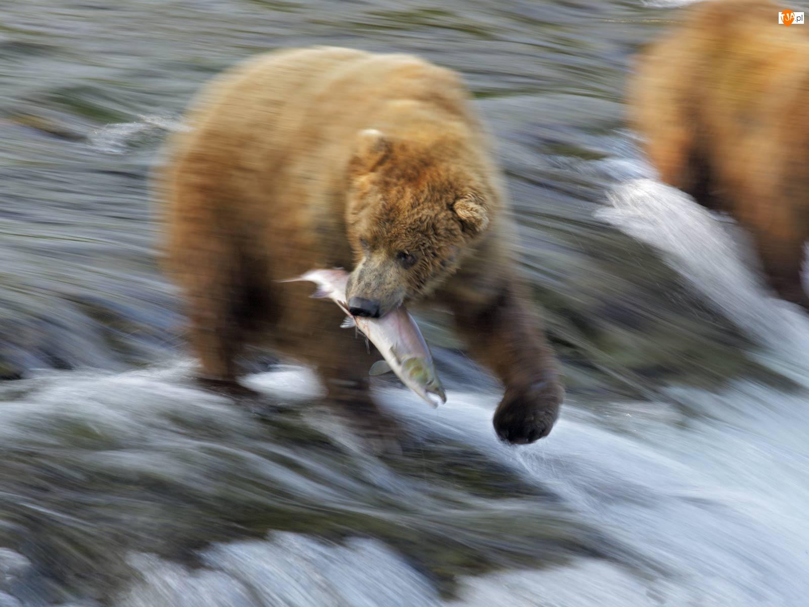 Ryba, Niedźwiedź, Rzeka