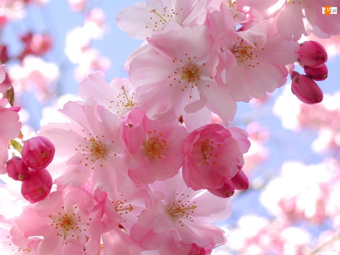 Wiśnia, Kwiat, Kwitnąca