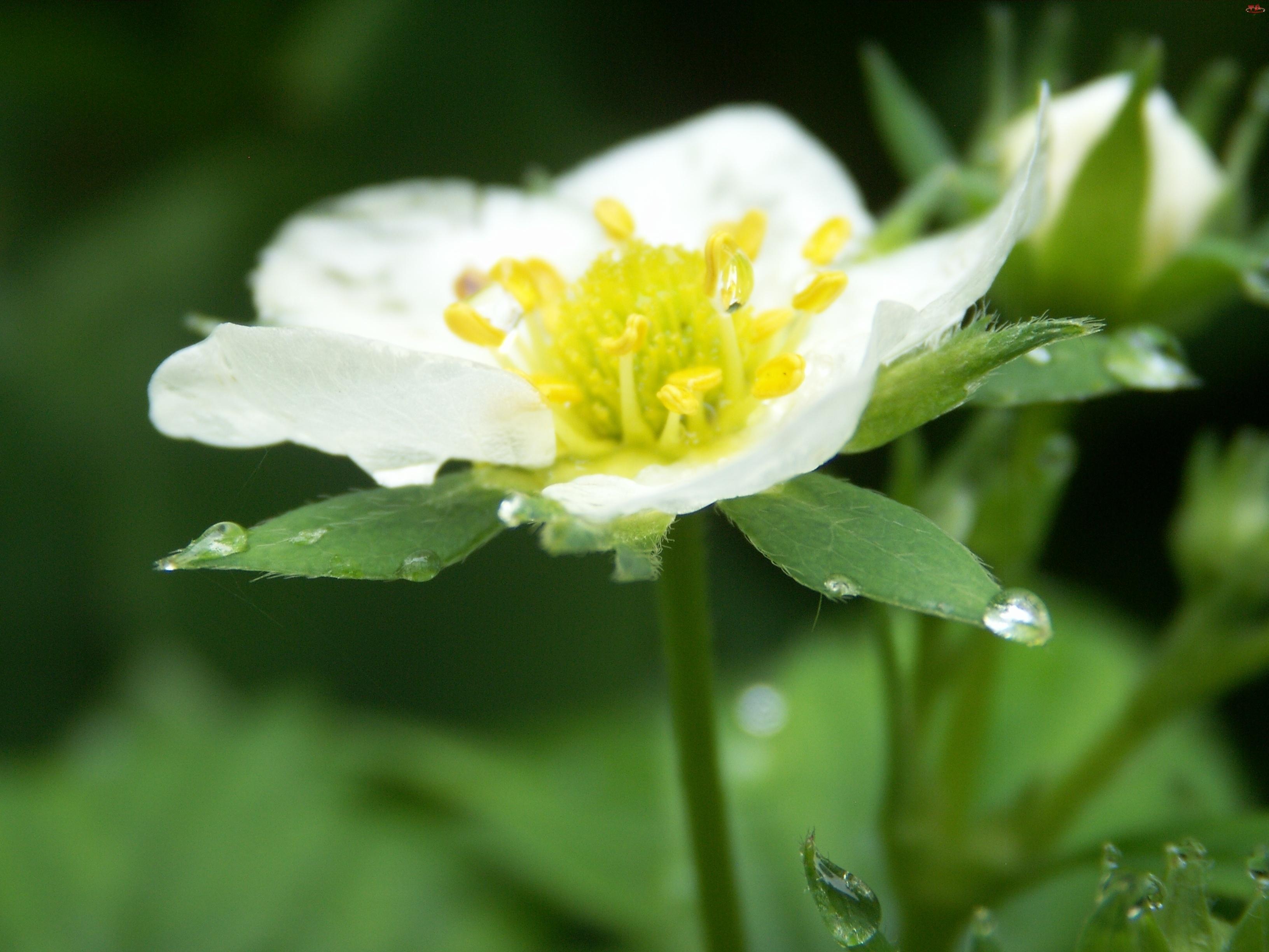Kwiat, Truskawki