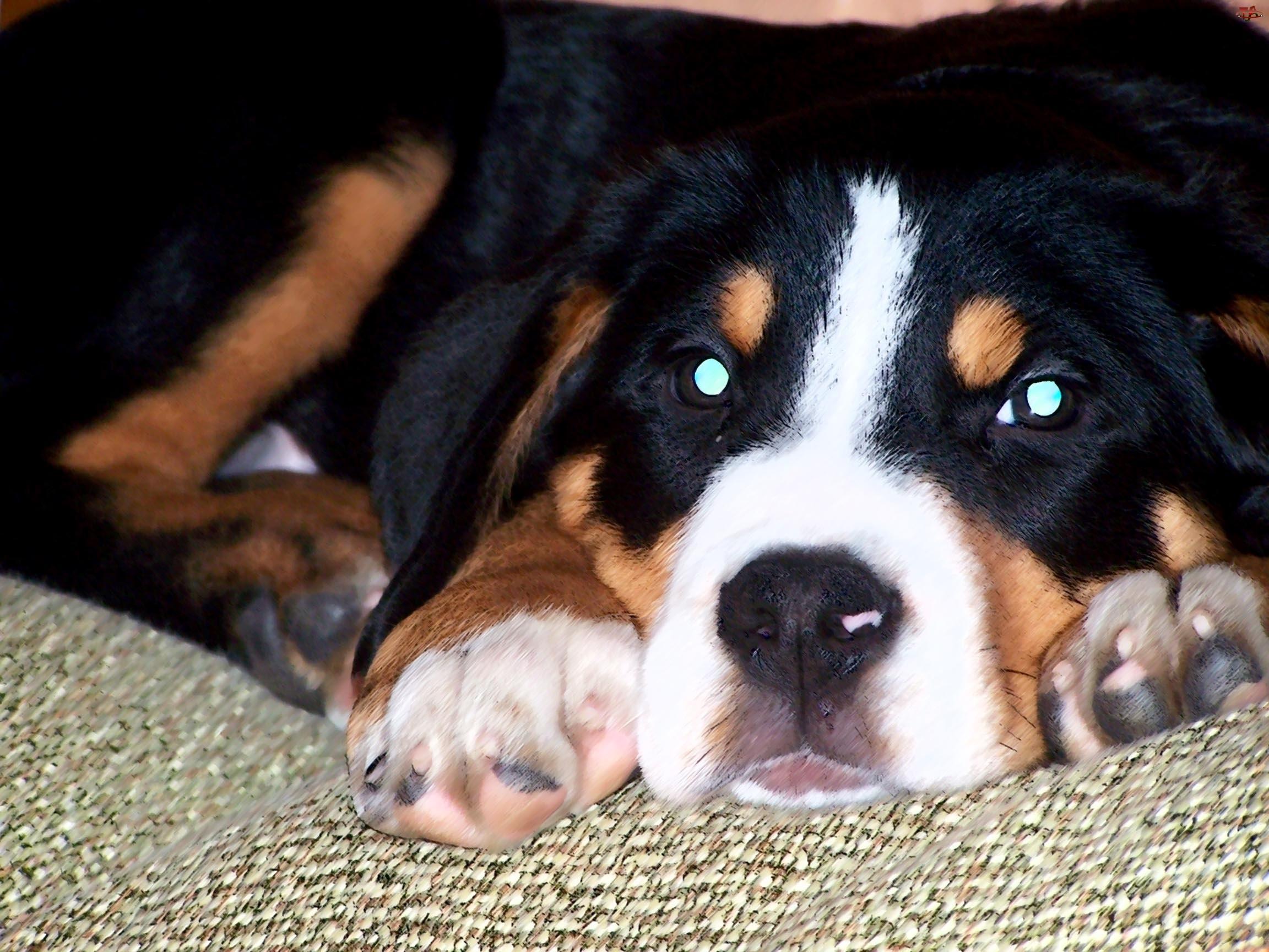 oczy, Berneński pies pasterski