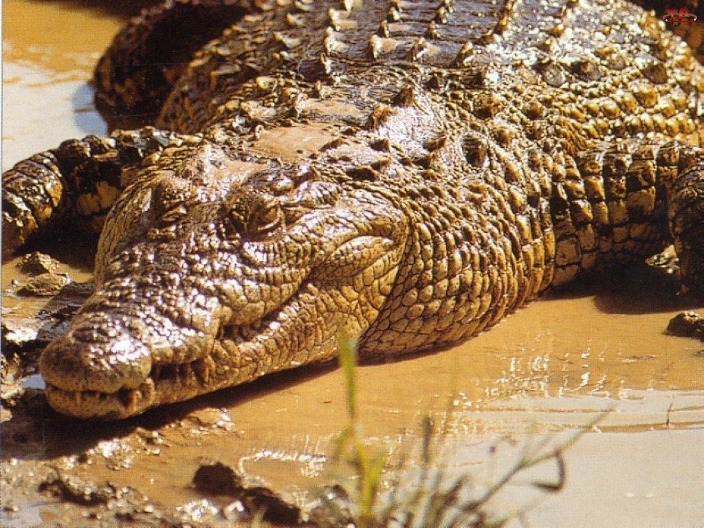 Krokodyl, Błoto