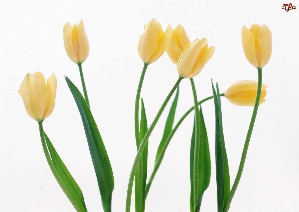 Żółte, Tulipany