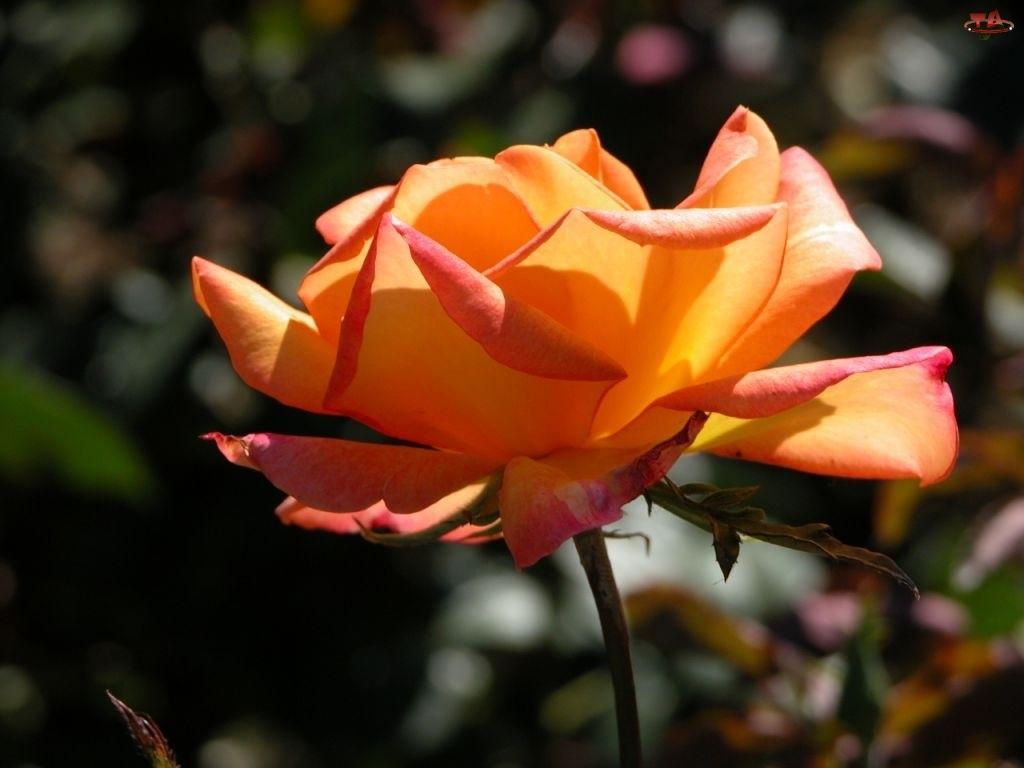Róża, Herbaciana, Rozwinięta